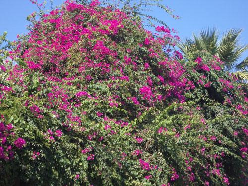 4. Heidi's favorite plant a Bougainvillia
